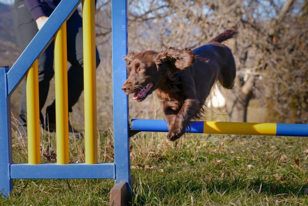 cocker tourner court agility