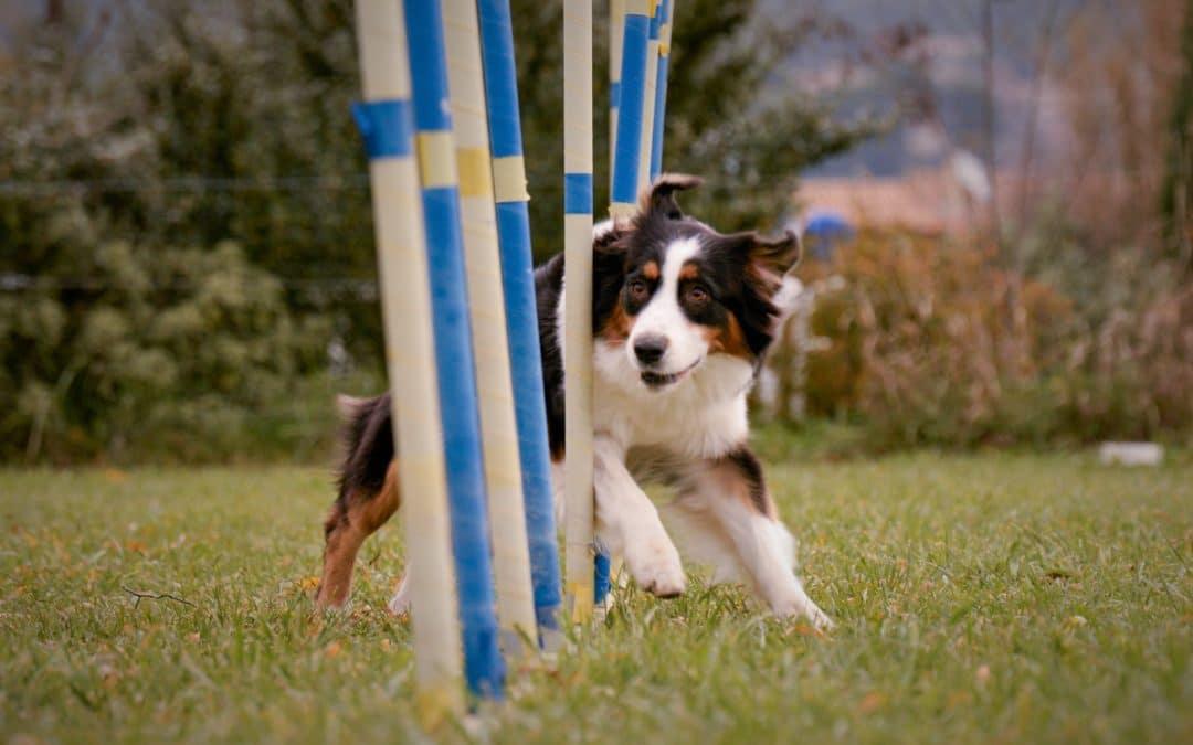 L'apprentissage du slalom en agility