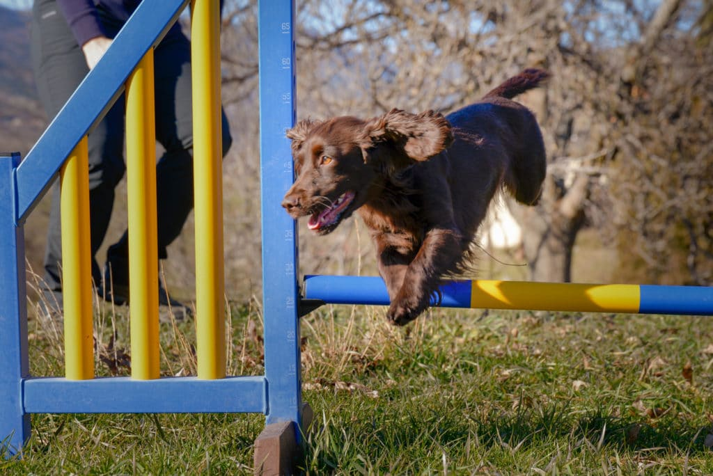 cocker tourner court agility
